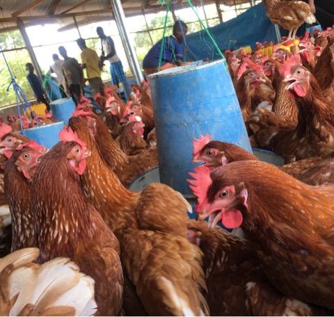 ほぼ個人でアフリカに養鶏場を作った人の話
